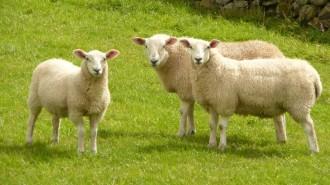 sheep-s