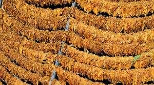 СДСМ  Во времето на ВМРО ДПМНЕ цената на тутунот беше помала од 190 денари  а таа денес изнесува 217 5 денари