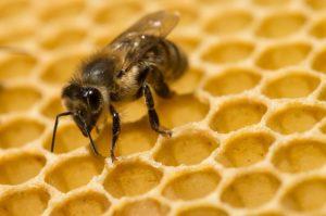 ФАО: Пчелите мора да бидат заштитени за иднината на нашата храна